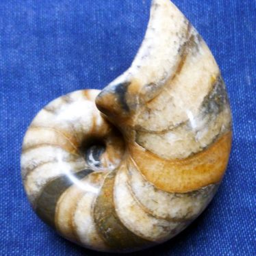 Fossil Nautilus from South Warwickshire