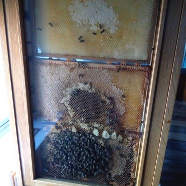 Live bee observation hive at the Market Hall Museum | Image courtesy of Warwickshire Museum