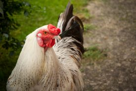 A Warwickshire cockerel. | Image courtesy of Heritage & Culture Warwickshire