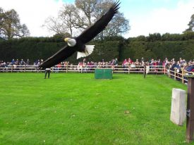 An eagle at a falconry display, Warwick castle, 2018. | Image courtesy of Benjamin Earl