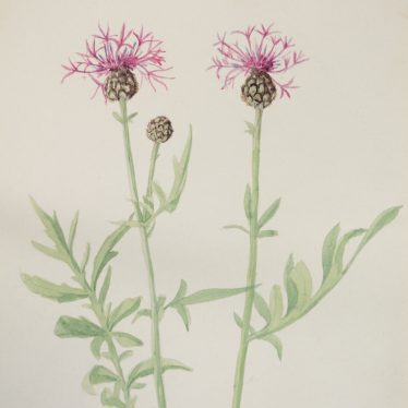 Warwickshire in 100 Objects: Flora Watercolour by Dorothy Cadbury