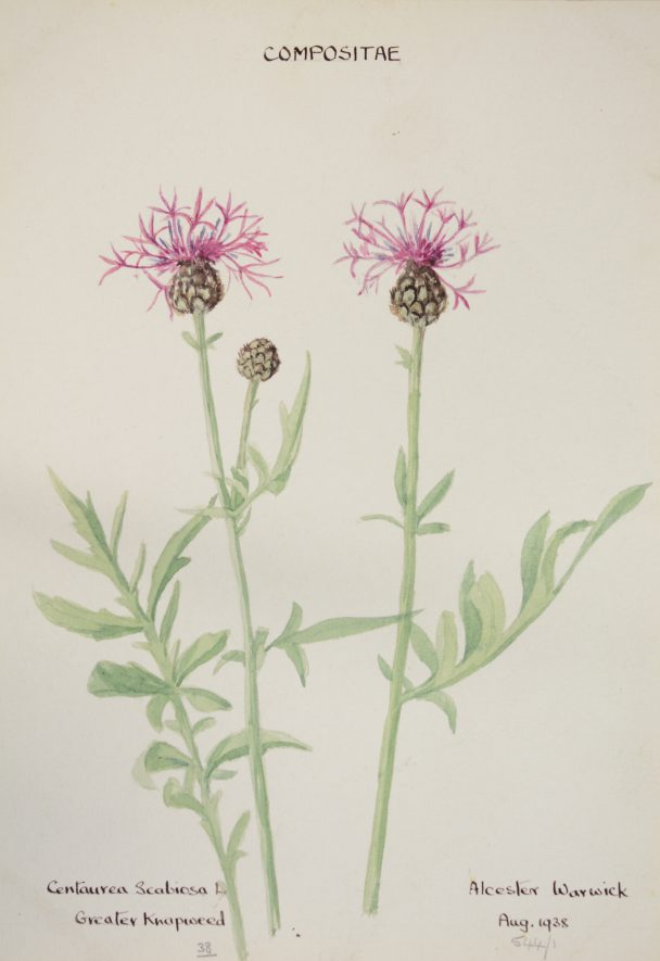 Watercolour painting of Greater Knapweed. | Image by Dorothy Cadbury, supplied by Warwickshire Museum