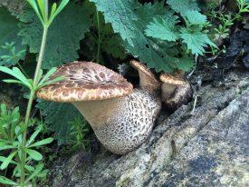 Dryads Saddle Fungus