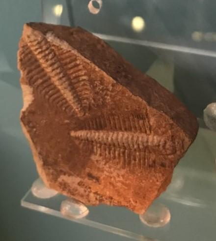 Warwickshire trilobites | Image courtesy of Warwickshire Museum
