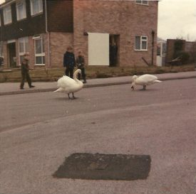 The swans visiting, corner of Brookside Avenue / Ash Tree Close, Wellesbourne, around the early / mid 1970s | Image courtesy of Gary Stocker
